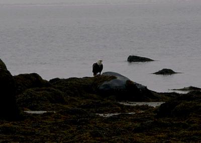 Eagle with fresh prey